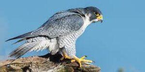 Falconry courses